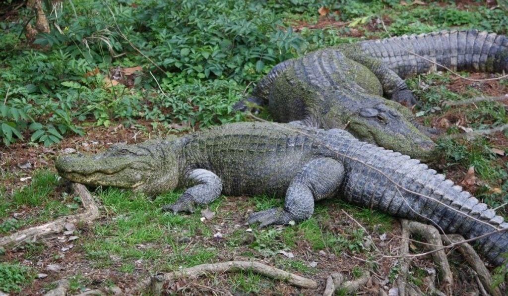 Dos cocodrilo