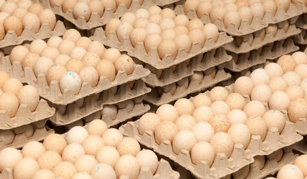 huevos de pavo en bandejas