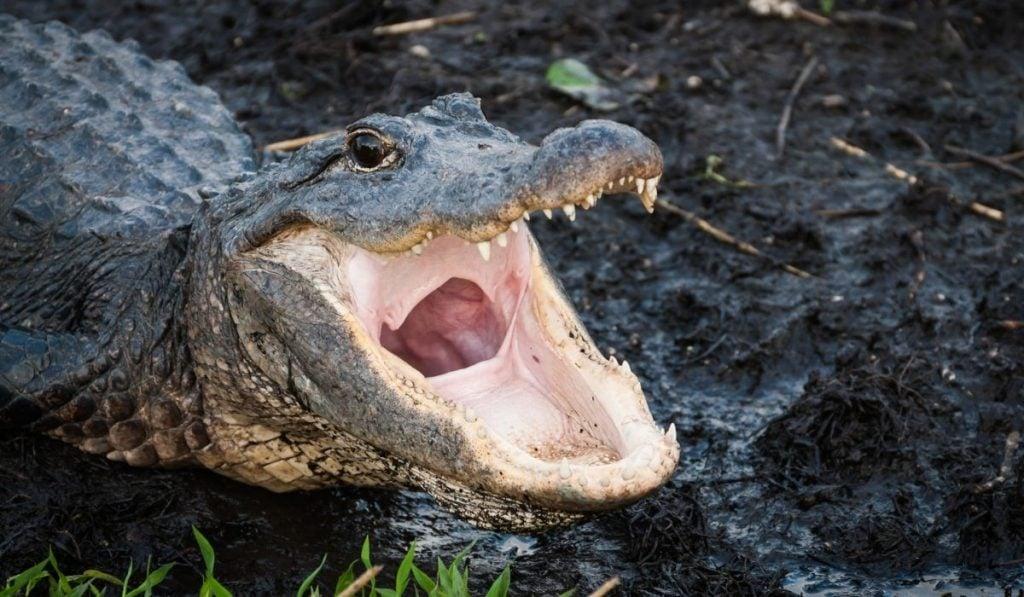 Cocodrilo abriendo su boca