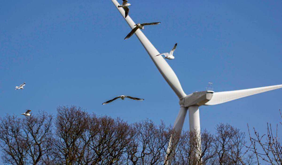 águilas volando hacia la turbina eólica