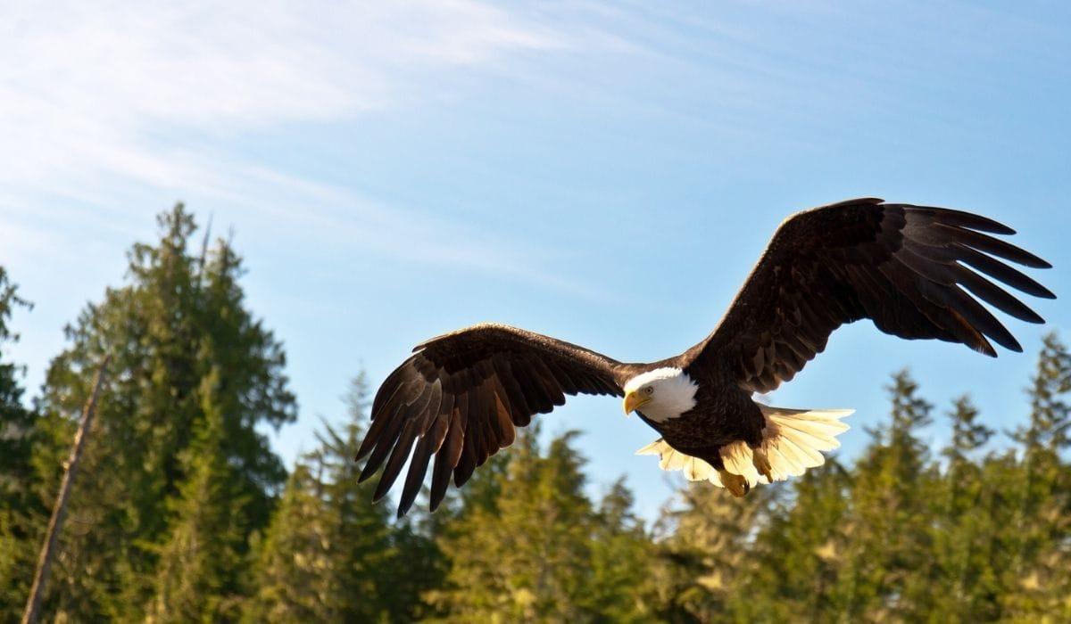 águila norteamericana volando